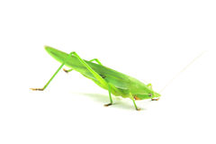 Green cricket Stock Photography