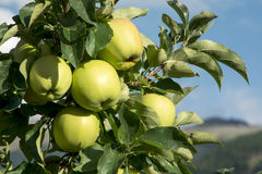 Green crisp apples Royalty Free Stock Image