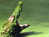 Green crocodile royalty free stock photo