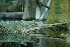 The green Crocodile. In water Royalty Free Stock Image