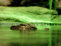 Green Crocodile Under Body of Water Royalty Free Stock Photography