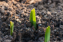 Green crocus sprouts in the spring Royalty Free Stock Photos