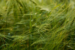 Green crop-field Royalty Free Stock Image