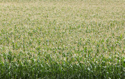 Green Crop Maze Royalty Free Stock Images