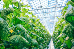 Green crop in modern greenhouse Stock Photo