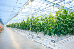 Green crop in modern greenhouse. Full of ligh in modern agriculture factory Stock Photography