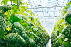 Green crop in modern greenhouse Royalty Free Stock Photos
