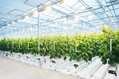 Green crop in modern greenhouse. Full of light royalty free stock photography