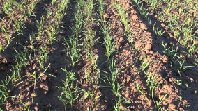 Green crop sprouts on field and spring  wind stock video