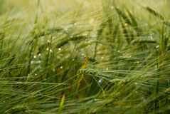 Green cropfield Royalty Free Stock Image