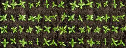 Green crops. Rows of green crops on soil Stock Image