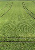Green crops in countryside Royalty Free Stock Photo
