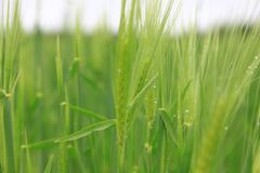 Green crops with dew drops Stock Photo