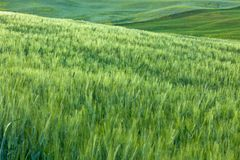 Green crops field Royalty Free Stock Image
