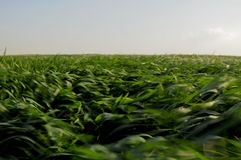 Green crops field blown by wind Royalty Free Stock Images