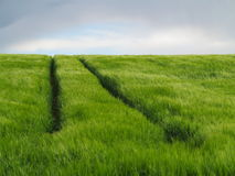 Field of green crop with track uphill Stock Images