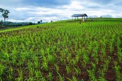 Green crops growing rainfed mountain. Stock Photos