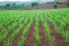 Green crops growing rainfed mountain. Stock Photography