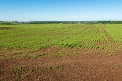 Straight rows of planted plants. Royalty Free Stock Image