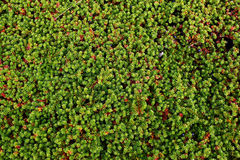 Green crowberry background Stock Images