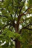 Green crown of secular oak close-up Stock Photos