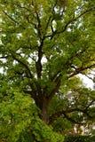 Green crown of secular oak close-up Stock Photo