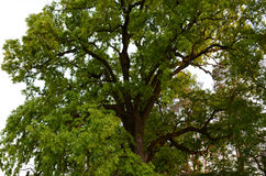 Green crown of secular oak close-up Stock Photography