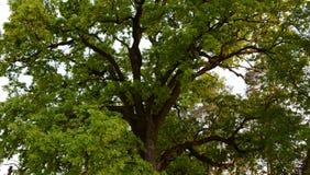 Green crown of secular oak close-up Royalty Free Stock Photos