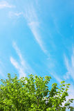 Green crown and sky Royalty Free Stock Image