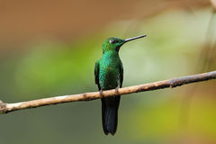 Green-crowned Brillant, Heliodoxa jacula Stock Photography
