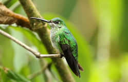 Green-crowned Brillant,Heliodoxa jacula. A lovely green female hummingbird with iridescent feathers, sits on a  branch in Ecuador Stock Photography