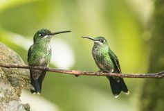 Green-crowned Brillant, Heliodoxa jacula. Two lovely green female hummingbirds with iridescent feathers, sitting facing each other on a  branch in Ecuador. There Stock Images
