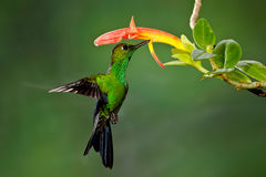 Green Crowned Brilliant. Adult Male Green Crowned Brilliant Hummingbird Feeding at Red Flower Stock Images
