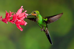 Green Crowned Brilliant. Juvenile Male Green Crowned Brilliant Hummingbird Feeding at Red  Flower Royalty Free Stock Photos