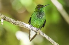 Green-crowned Brilliant. Curi Cancha, Costa Rica royalty free stock photo