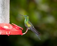 Green Crowned Brilliant. A Green Crowned Brilliant Hummingbird in Costa Rica Royalty Free Stock Photos