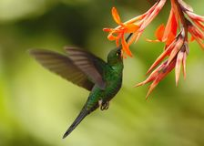 Green-crowned brilliant in Costa Rica. Green-crowned brilliant, Heliodoxa jacula, hovering next to orange flower in garden, bird from mountain tropical forest stock images