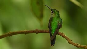 Green-crowned Brilliant - Heliodoxa jacula large, robust hummingbird that is a resident breeder in the highlands from Costa Rica t