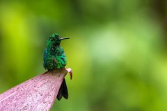 Green-crowned brilliant, Heliodoxa jacula sitting on leave, bird from mountain tropical forest, Panama, bird perching on leave. Clear green background, resting stock photo