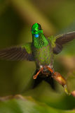 Green-crowned Brilliant. Hovering display,  Ecuador Stock Photography
