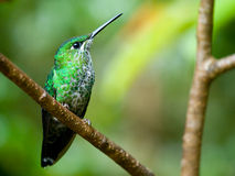 The Green-crowned Brilliant hummingbird Stock Image