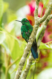 Green Crowned Brilliant Hummingbird. Adult Male Green Crowned Brilliant Hummingbird Perched On Tree Branch Royalty Free Stock Photography