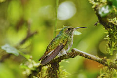 Green-crowned Brilliant Hummingbird, Costa Rica. Green-crowned Brilliant Hummingbird, La Paz Waterfall Gardens, Costa Rica Royalty Free Stock Images