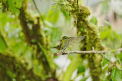 Green-crowned Brilliant Hummingbird, Costa Rica. Green-crowned Brilliant Hummingbird, La Paz Waterfall Gardens, Costa Rica Royalty Free Stock Photos