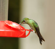 Green-crowned Brilliant Hummingbird, Costa Rica Stock Image
