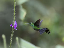 Green-crowned Brilliant Hummingbird, Heliodoxa jacula. Male Green-crowned Brilliant Hummingbird in flight eating nectar Royalty Free Stock Photography