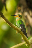 Green Crowned Brilliant Hummingbird. Juvenile Green Crowned Brilliant Hummingbird Perched On Tree Branch Royalty Free Stock Images