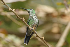 A Green Crowned Brilliant Hummingbird. In La Paz Wildlife Sanctuary in Costa Rica Royalty Free Stock Photo