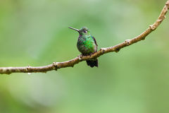 Green-Crowned Brilliant Hummingbird, Male. A male Green-Crowned Brilliant Hummingbird (Heliodoxa jacula) at Fundacion Jocotoco's Buenaventura reserve near Pinas Stock Photography