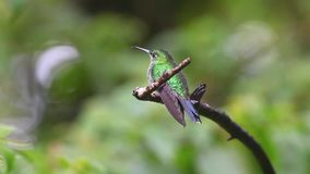 A Green-crowned Brilliant hummingbird from Monteverde, Costa Rica. Green-crowned Brilliant hummingbird from Monteverde, Costa Rica stock footage